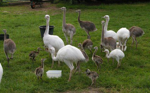 Ostrich eggs, Emu eggs, rhea eggs and their chicks