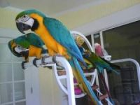 Blue & Gold Macaw Parrots for Adoption